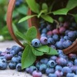 ブルーベリーレシピ 生で人気・冷凍で簡単のレシピを紹介します。